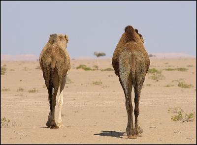 cammellovia